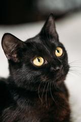 Close Up Portrait Peaceful Black Kitten Cat