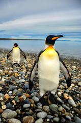 Pingüinos de Magallanes en tierra de Fuego
