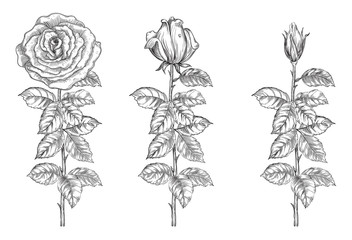Vector roses from bud to full blossom at retro engraving style.