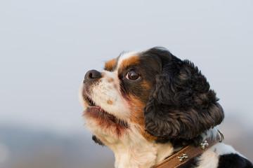 Cavalier King Charles Spaniel Hunde Portrait