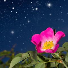 Flower wild rose.
