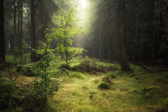 Birkenbäumchen im Nadelwald