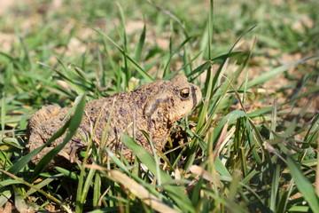 Blick auf eine braune Erdkröte, die in der Wiese hockt