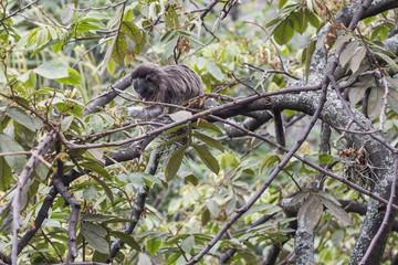 mono titi gris alimentandose