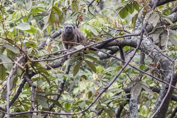 mono titi gris observando
