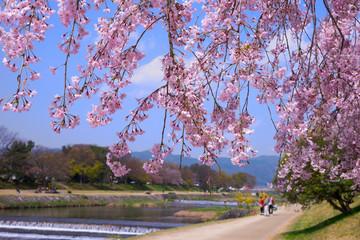 京都 鴨川の枝垂桜