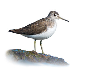 Green Sandpiper on White