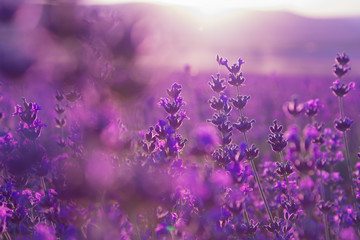 blurred summer background of  lavender flowers