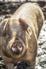 Pig facing Camera