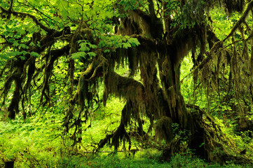 Hoh Rainforest in Olympic National Park, Washington state.