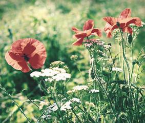 Beautiful poppies bloom amidst poppy fields