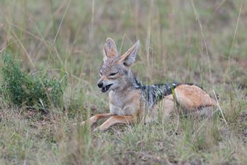 jackal little hunter in the savanna of Africa