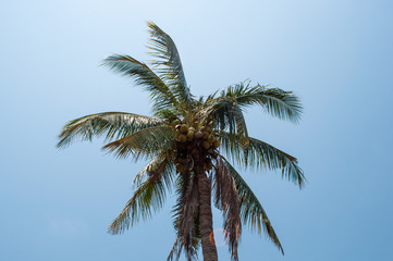 coconut trees at field in thailand. with blue sky background.