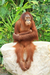 Orangutan sitting on the rock and cross one's arm