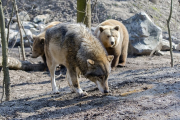 Gray wolf (Canis lupus) and brown bear (Ursus arctos)
