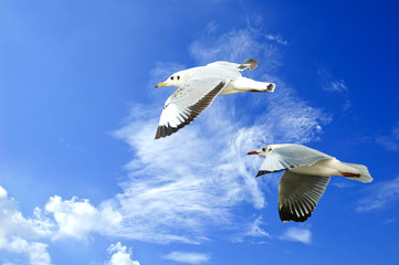 flying seagull in sky with clouds