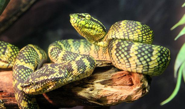 Wagler's palm viper snake