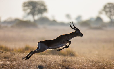 Antelope running across the savannah in Botswana. Jump.