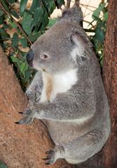 large adult koala