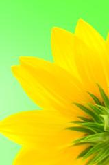 Green in the background backward sunflower.