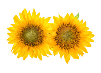 Sunflower blossom isolated on white. Beautiful flower head