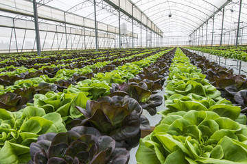 Lettuce crops in greenhouse