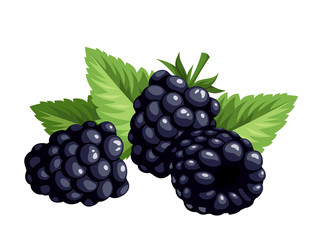 Blackberries isolated on a white background. Vector.