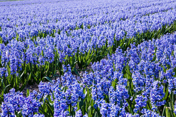 Beautiful Dutch hyacinth field. Spring flowers