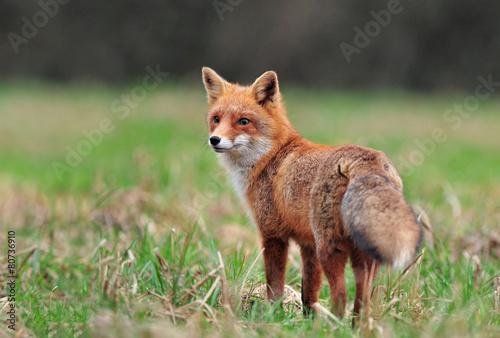 Red fox фото 8876 фотография