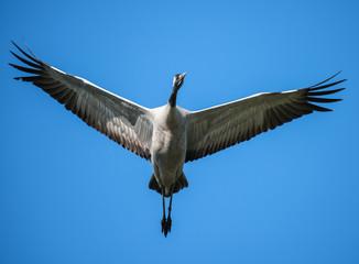 Common Crane in Flight on Blue Sky