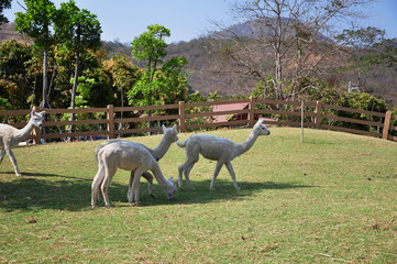 other and baby Alpaca