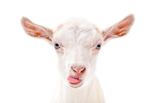 Portrait of a goat showing tongue