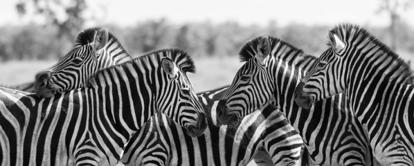 Zebra herd in black and white photo with heads together