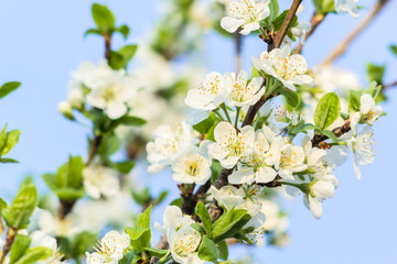 Flowering branch of  cherry-tree in the spring close-up