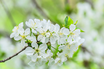 Bunch of cherry blossoms on blurred background