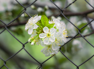 Bunch of cherry blossoms on the background mesh-netting
