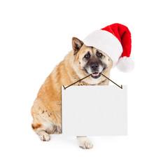 Wall Mural - Akita Dog Wearing Santa Hat Carrying Blank Sign