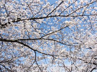 桜の木 in 上野恩賜公園 不忍池