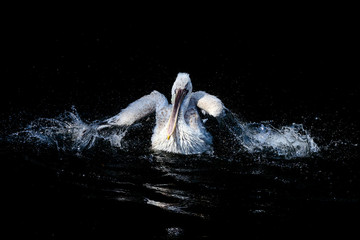 Big white pelican swimming in drops of water in dark pond