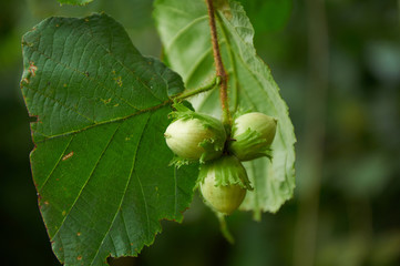 Three green hazelnuts