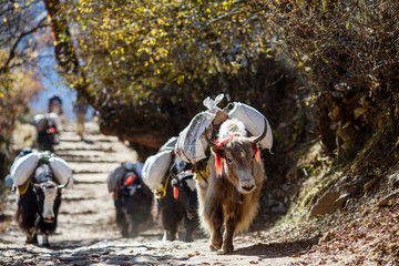Yaks carrying weight in Nepal