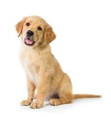 Photo sur Plexiglas Chien Golden Retriever dog sitting on the floor, isolated on white bac