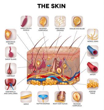 Skin anatomy, detailed illustration. Beautiful bright colors.