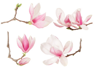 Magnolia flower twig spring collection on white, clipping path
