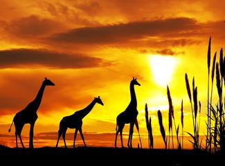 jirafas en la puesta de sol