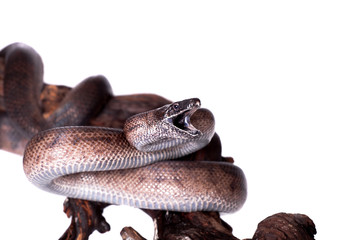 Puerto Rican boa on white backgorund