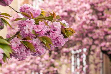 pink flowers on sakura branches
