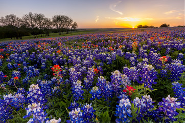 Photo sur cadre textile Texas Texas wildflower - bluebonnet filed in sunset