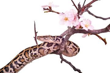 butter ball royal python moorish viper boa snake on a branch