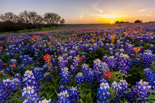 Texas wildflower -  bluebonnet filed in sunset